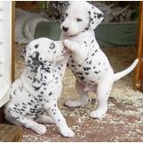 Cachorros Dálmatas Bien Entrenados Disponibles