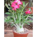 Seis Plantas Rosas Del Desierto Adenium Obesum Multicolores