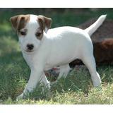 Encantadores Cachorros Jack Russell Entrenados En Casa Listo