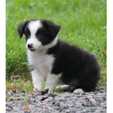 Cachorros De Border Collie Registrados Para Re Homing